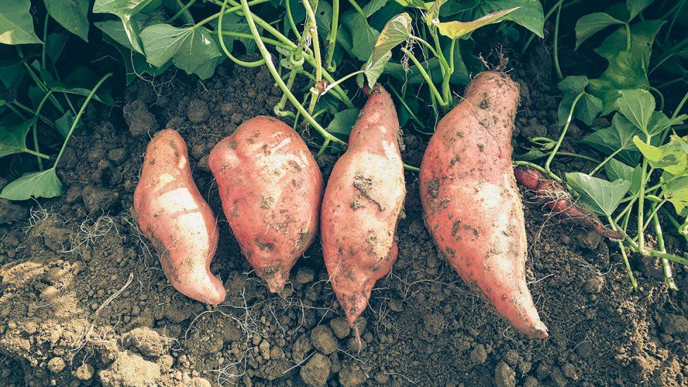 Süßkartoffeln aus unserer Region!